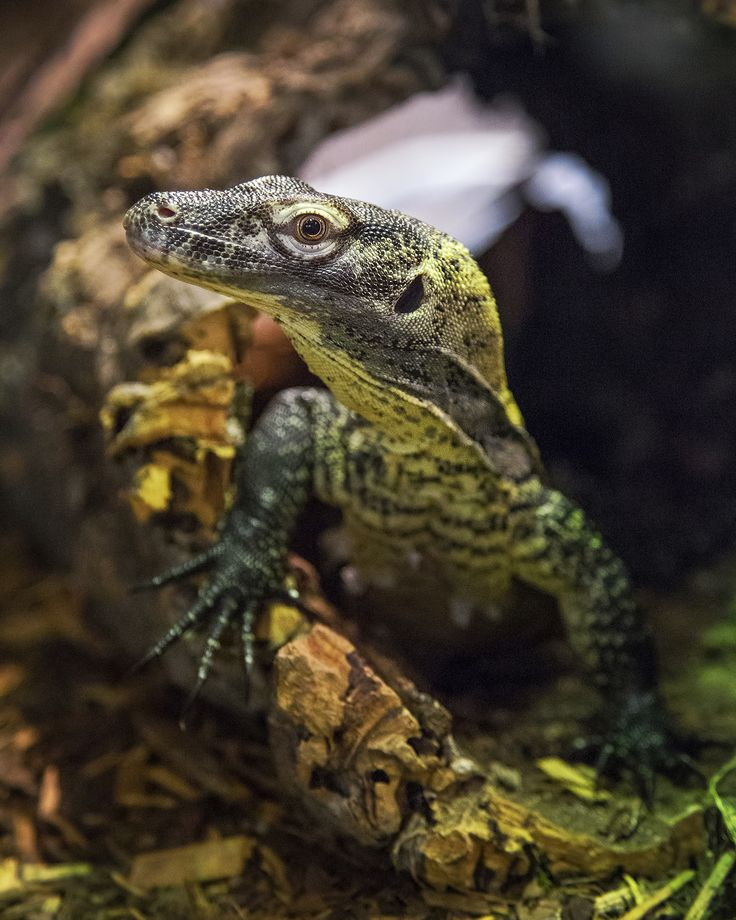Here's your Nashville Zoo Picture of the Week. A young Komodo dragon sneaks a sideways glance at the photographer. This female will eventually lose her yellow highlights as she grows to her mature length of 7-9 feet. For the next few months, visitors can see our two young dragons in the Unseen New World building.  This image was taken by Amiee Stubbs (www.amieestubbs.com).