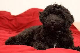 Image result for black yorkie poo