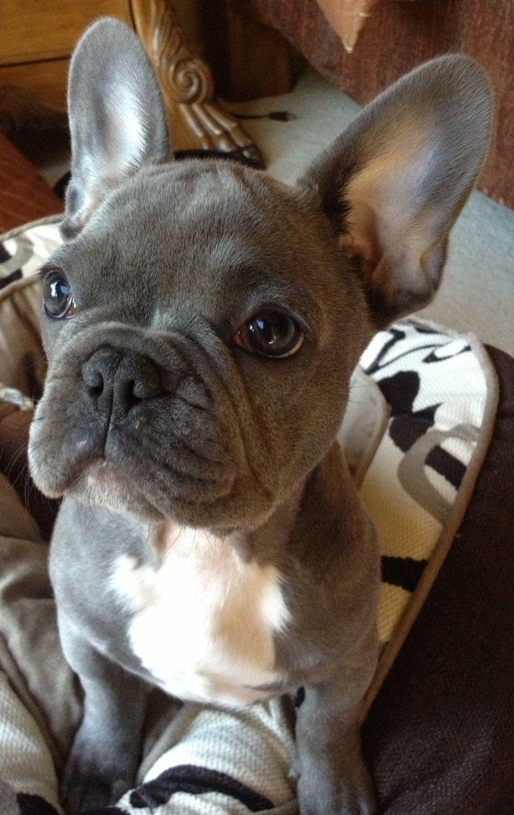 Oh he's beautiful! Blue french bulldog.