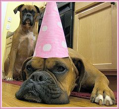 It's my birthday!: Happy Birthday, Boxers Baby, Funny Boxers, Boxers Dogs, Birthday Parties, Birthday Hats, Birthday Dogs, Dogs Birthday, Animal Photos