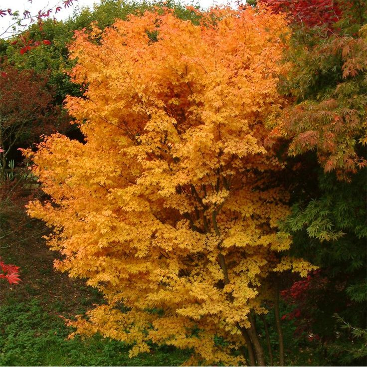 Coral Bark Japanese Maple for my courtyard patio. Nice tree for smaller spaces and looks gorgeous in fall:)
