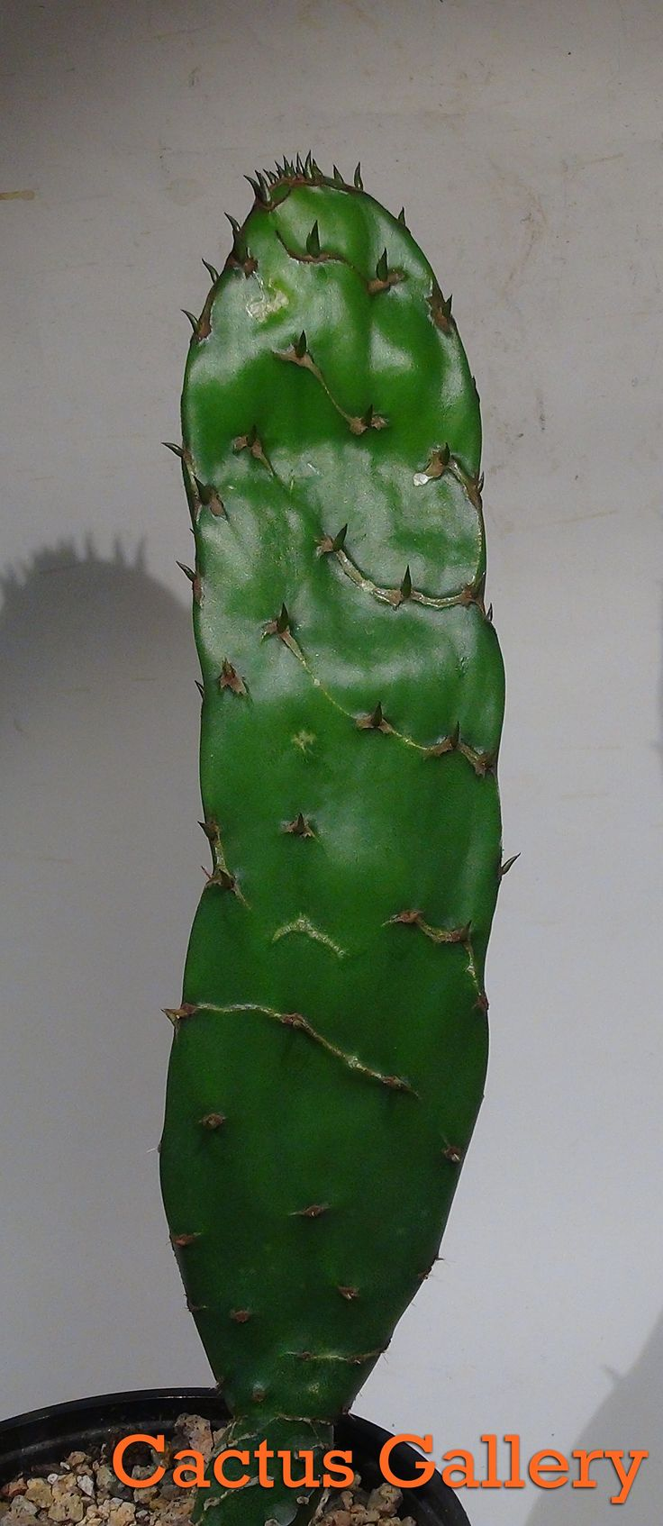 192 Best Images About Tarot: 192 Best Images About Prickly Pear Cactus -Opuntia On