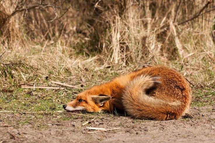 Scared Fox | Just Cuz Stuff | Pet fox, Fox, Red Fox