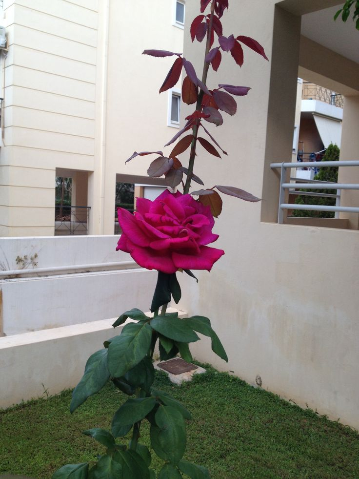 Beautiful rose!!