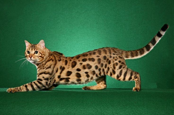 Cea mai scumpă pisică: Cato, o hibrid între o pisică domestică și o pisică leopard asiatică. Preț: 41.435 $