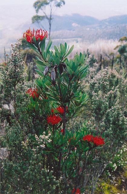 Tasmanian Waratah - Telopea truncata
