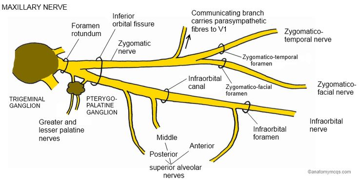 Course of the MAXILLARY branch of the Trigeminal Nerve