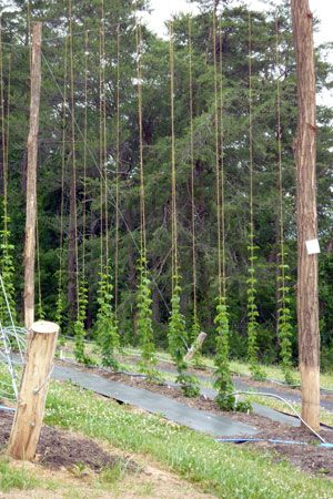 Growing hops                                                                                                                                                     More