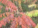 Non-poison sumac exhibits fall foliage color earlier than do most plants.