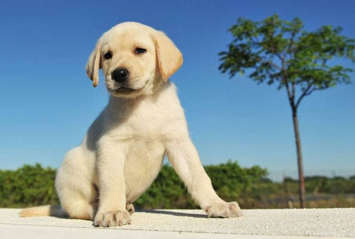"""Hey you!...Come over here and play with me""...  Click on image for more cute pinworthy Labrador Retriever #puppy pictures"
