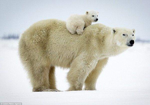 20 Polar Bear Facts and Information for Kids