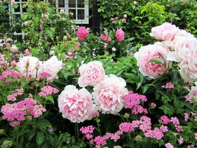 Det går som lyn og torden lige nu. Pæoner og roser blomstrer om kap og strides om at være den smukkeste. Min have er lille, så det kniber ...