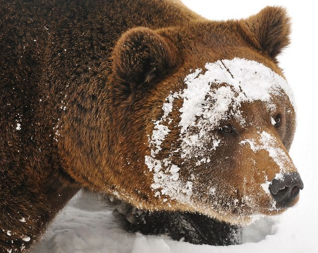 brown bear in snow: Aw Animal, Bears Grizzly, Bears Perfume, Teddy Bears, Muy Animal, Amazing Animal, Brown Bears, Bears Faces, Snow Bears