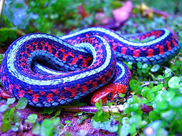 Thamnophis sirtalis infernalis; California Red-sided Garter Snake by vabbley, via Flickr