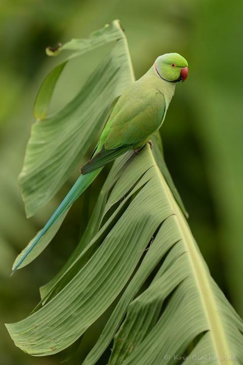Rose-ringed Parakeet - Psittacula krameri - aleksandretta obrożna