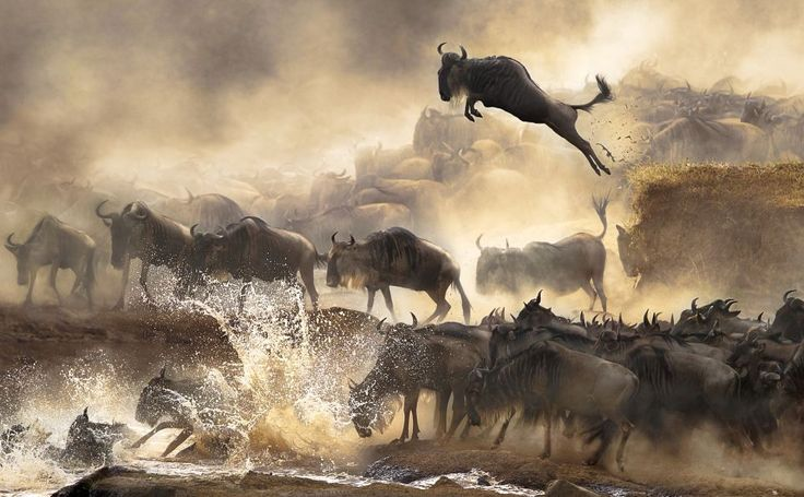 This breathtaking image was taken by Bonnie Cheung when she witnessed the heart-pounding scene of wildebeest migration in Kenya in 2009. One of the animals appears to defy gravity by soaring in to the air with a massive leap as others kick up dust below as they stampede towards a Kenyan waterhole