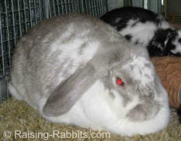 This excellent French Lop Rabbit has normal rabbit fur.  Camera cause the eyes to look red!