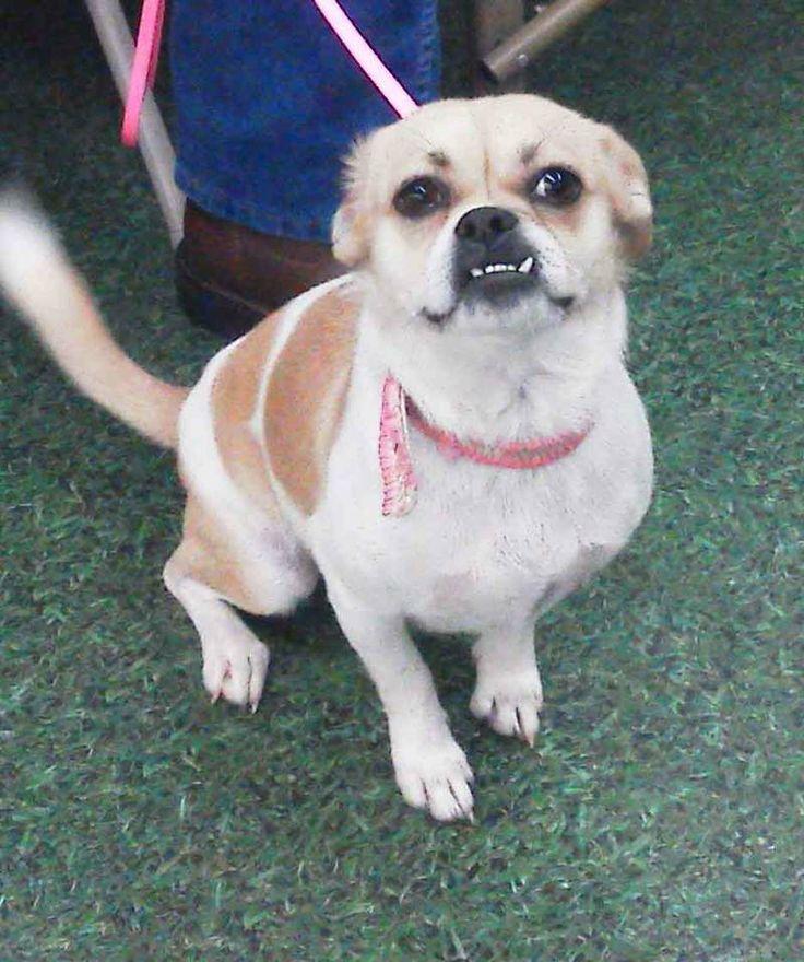 I found Sugar on | Pug chihuahua mix, Chihuahua mix and Dog