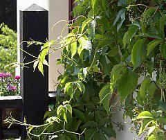 Parthenocissus inserta, vildvin. Mattgröna blad, röd höstfärg.