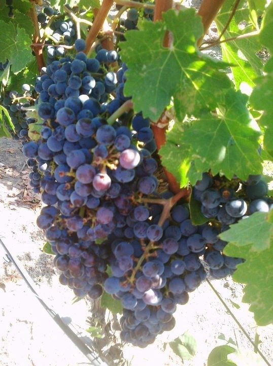 Grapes for Ohio wine. Geneva Grape Jamboree - last full weekend in September.