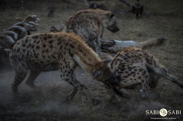 Hyenas and vultures were fulfilling their clean up duties at the giraffe carcass with tensions running high between both bird and mammal.