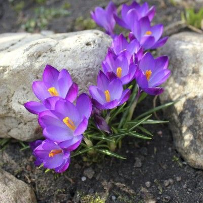 """Crocus Planting Tips: Learn When To Plant Crocus Bulbs.  This article tells about the importance of the """"chill period,"""" and how to determine when and where to plant crocuses."""