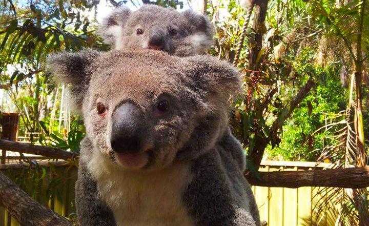 Cuddle Koalas & Feed Kangaroos at Alma Park Zoo for Just $18! http://yhoo.it/QNl8YB  #Brisbane