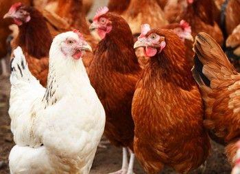 #hortadendauw #kuurne #kortrijk #harelbeke #Ophokplicht voor #pluimvee wegens #vogelgriep !!!!  #beschermnetten #kippen #kalkoenen #parelhoenders #struisvogels #eenden ...