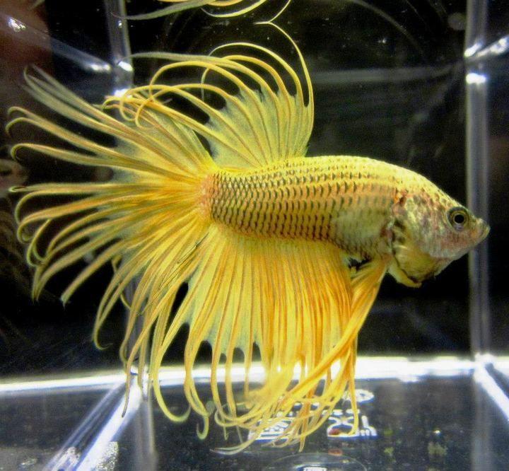 What an amazingly beautiful betta siamese fighting fish for Prettiest betta fish