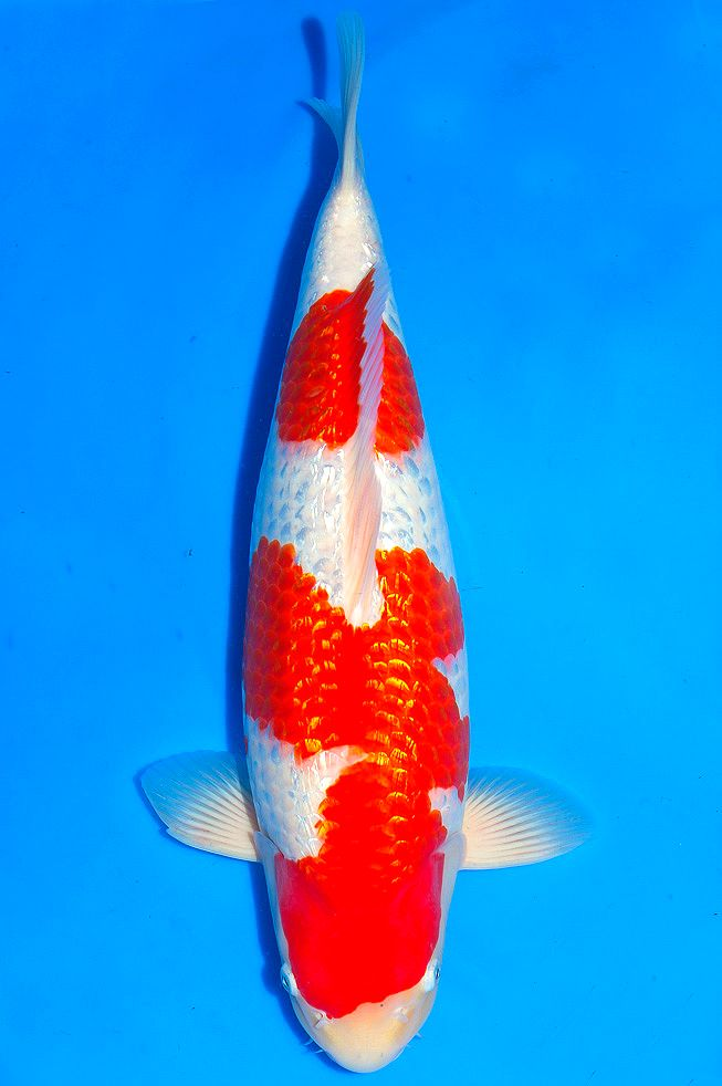33 best huge koi fish for sale images on pinterest koi for Huge koi fish for sale