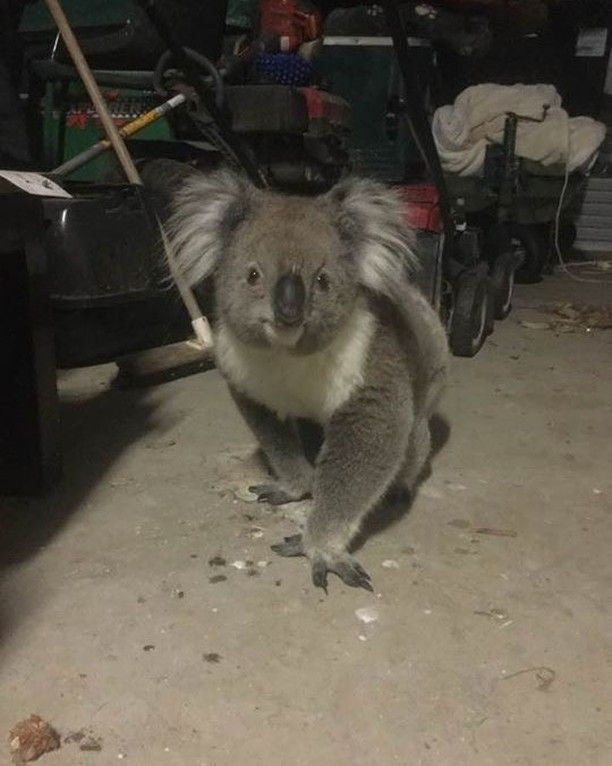 #koala #koalainshed Found this little friend visiting the shed. She was quite happy to wander around - amongst the junk.