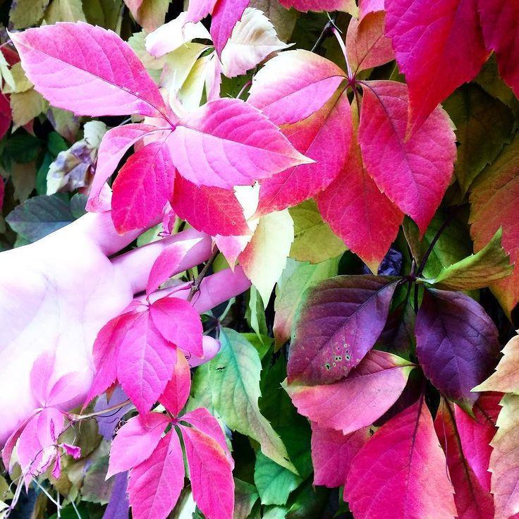 Some more autumn  to enjoy! #fall #autumn #leaves #TagsForLikes #falltime #season #seasons #instafall #instagood #TFLers #instaautumn #photooftheday #leaf #foliage #colorful #orange #red #autumnweather #fallweather #nature