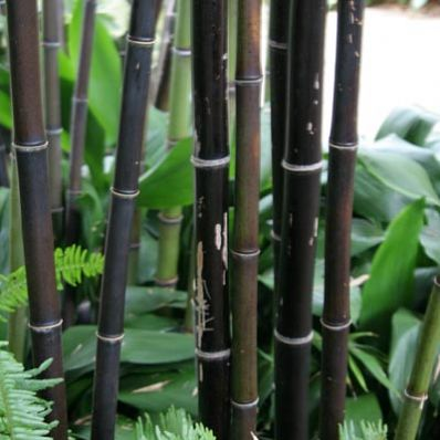 Well Behaved Bamboo with a Unique Color - Black Bamboo plants are some of the most popular bamboo available. They're extremely easy to grow and give you a unique color for your garden.    Of all the plants in the true bamboo family, Black Bamboo is the most handsome. Plant it wherever you have room for a tall narrow accent that calls...