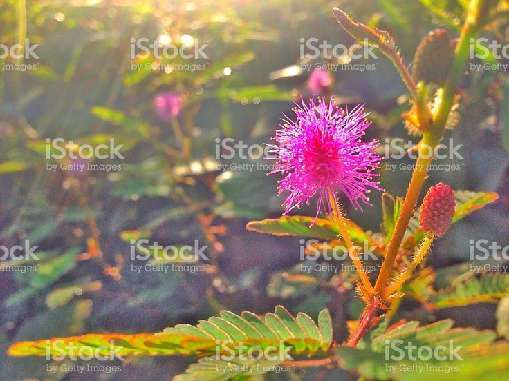 Mimosa pudica royalty-free stock photo