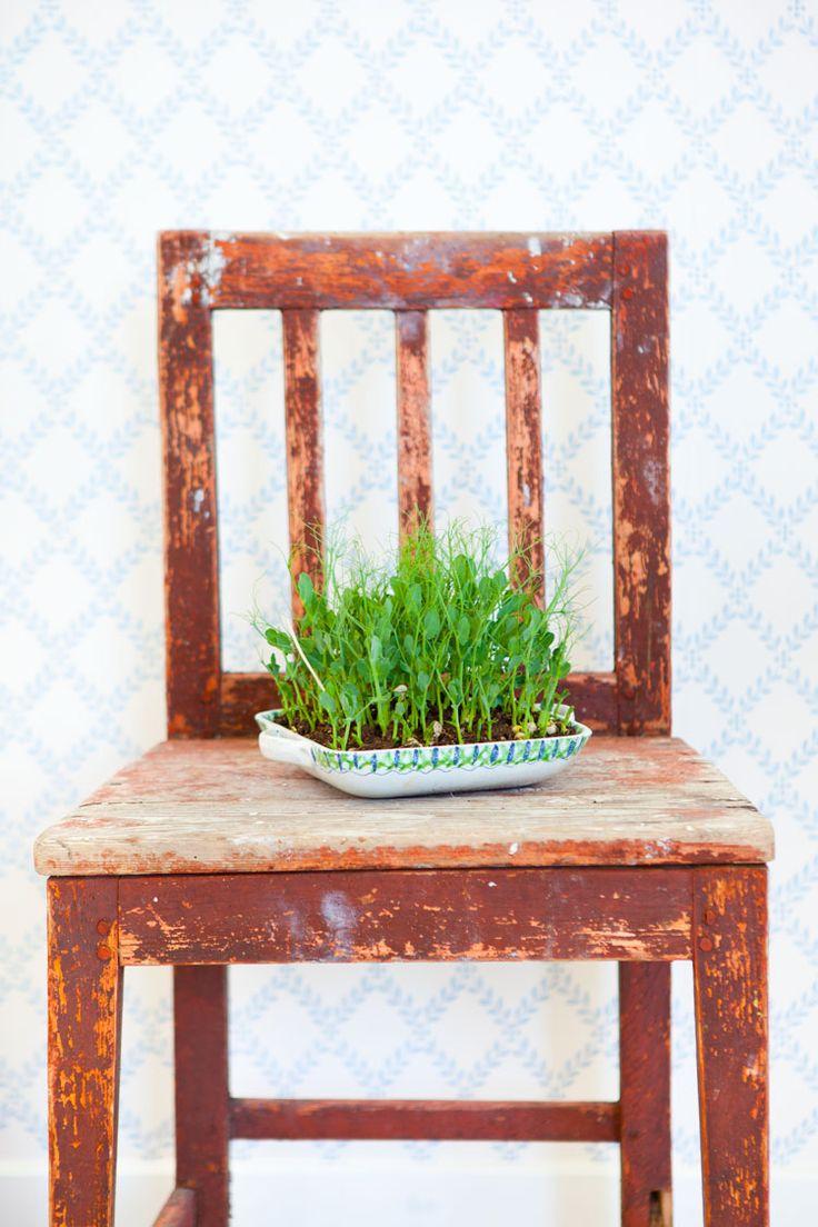 Att odla ärtskott är kul eftersom det är så enkelt och ger en väldigt god skörd till en väldigt liten insats. Här får du tips på hur man gör.