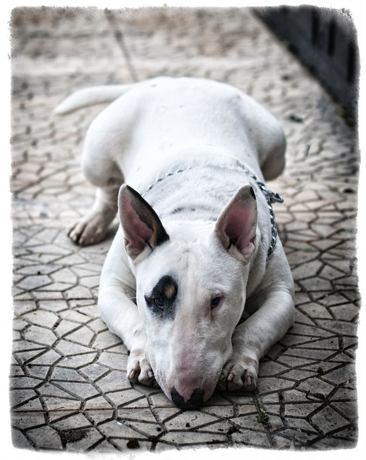 American bull terrier - love these dogs and there is not a mean bone in their bodies....