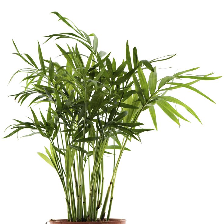 Bamboo palm: great houseplant for clean air and safe for pets!