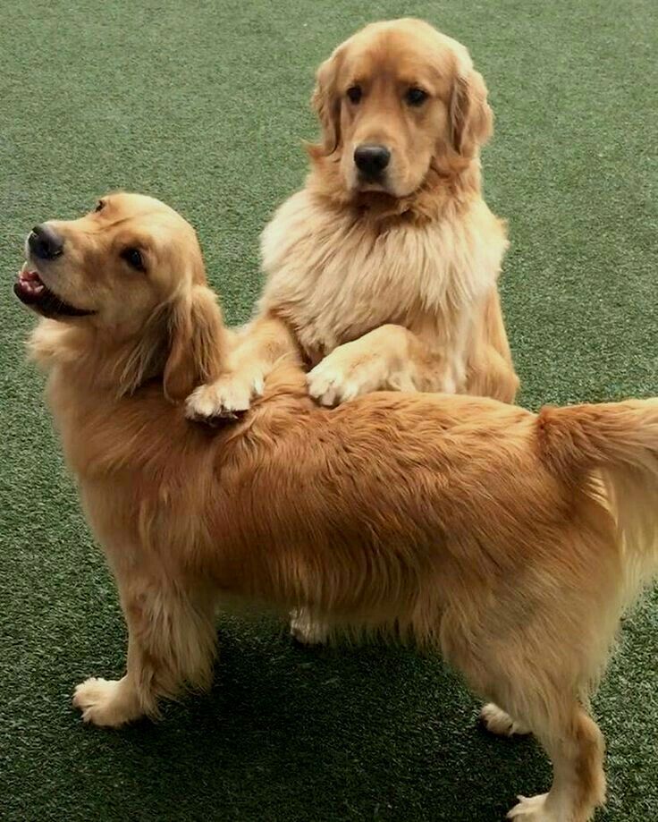 Ben And Ginger Future Dogs Golden Retriever Golden Retriever