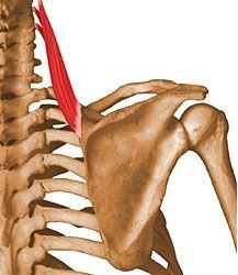 Músculo Angular de la Escápula