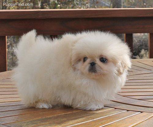 CUTEST pekingese puppy ever!