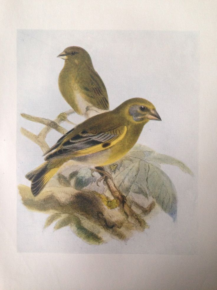1907 GREENFINCH bird antique print, colour, original, vintage by NinskaPrints on Etsy https://www.etsy.com/uk/listing/256190445/1907-greenfinch-bird-antique-print