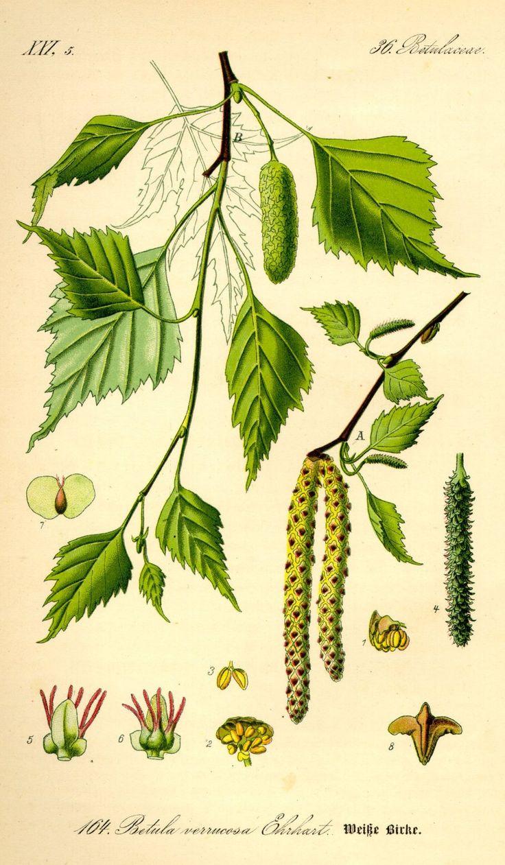 Birch - Betula pendula. Flora von Deutschland, �sterreich und der Schweiz, Prof. Dr. Otto Wilhelm Thom� (1885 - 1905)
