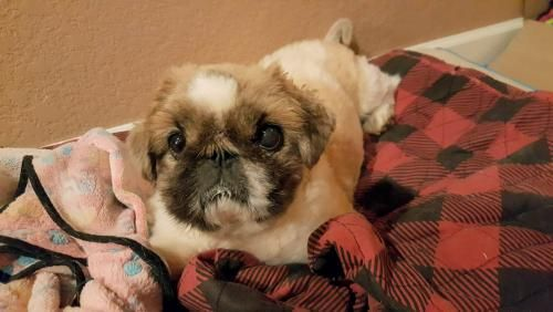 Pekingese dog for Adoption in Oakley, CA. ADN-583523 on PuppyFinder.com Gender: Male. Age: Adult