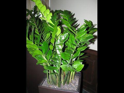 Долларовое дерево замиокулькас. Растение, приносящее удачу. Уход и размножение - YouTube