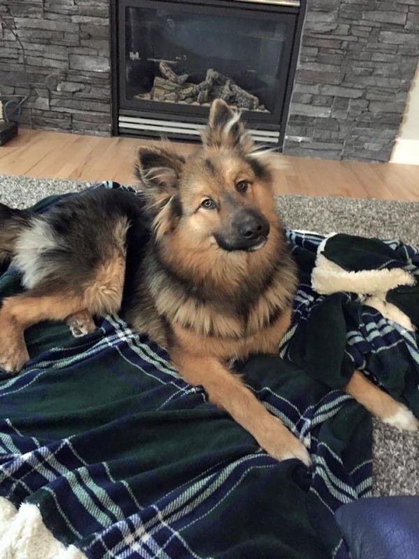 German Shepherd\/Husky mix Bane Dog of pet parent Cody | Pawshake