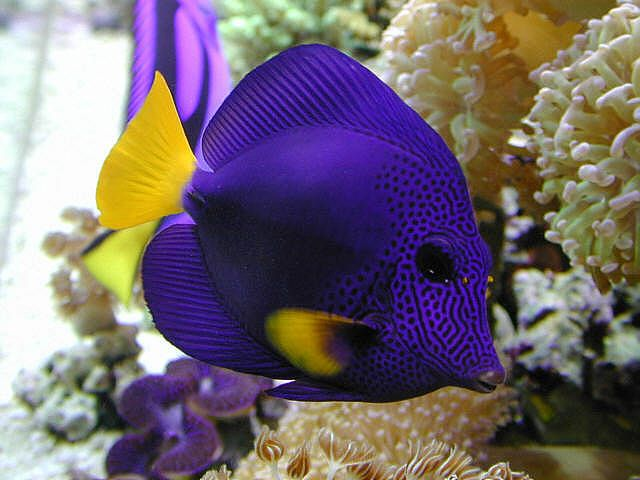 Purple Tang (Zebrasoma xanthurum) is a marine reef tang, & inhabits the Red Sea, the west coast of India, the east coast of Africa, & the Persian Gulf, where it may live at water depths of 3 to 65 feet or more.Its Beautiful.Donna Spinner