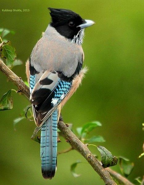 Black-headed Jay, India