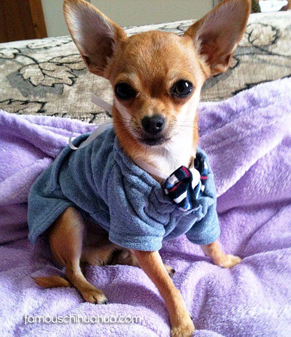 teacup chihuahua puppy | Chihuahua Chic | Pinterest