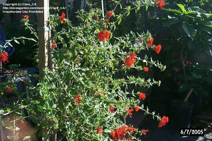 View picture of Scarlet Bouvardia, Firecracker Bush, Trumpetilla, Hummingbird Flower (Bouvardia ternifolia) at Dave's Garden.  All pictures are contributed by our community.