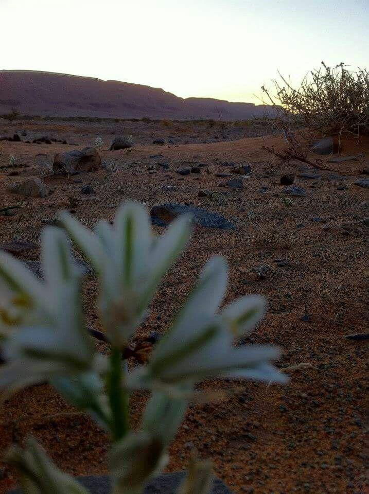 Petite fleur du désert